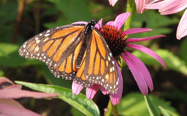 butterfly.jpe