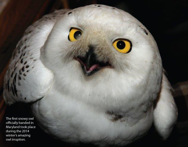 owl4.jpe