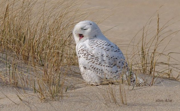 Snowy Owl Invasion Reaches Record Numbers - What's Up? Media on barn owl house plans, screech owl house plans, horned owl house plans, barred owl house plans,