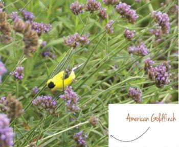 american-goldfinch.jpe