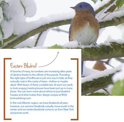 eastern-bluebird.jpe