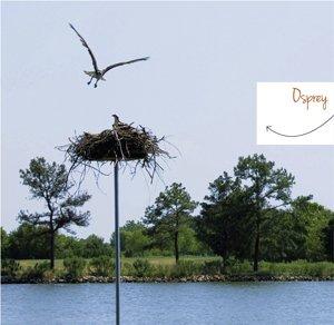 osprey.jpe