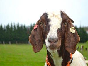goat4.jpe