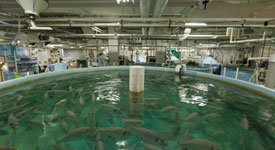 The research conducted within the 18,000-square-foot maze of fish tanks at IMET—each tank holding 5,000 gallons—could hold the key to sustainable aquaculture.