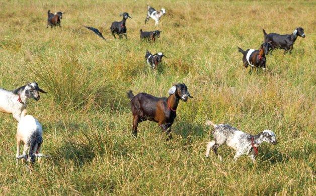 C0220_0001s_0029_goat 1.jpg