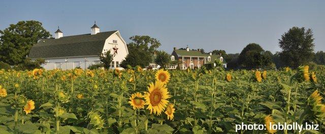 lotte sunflowers.jpeg