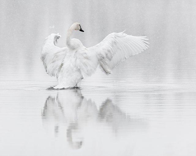 20170921-_C4A8258-Trumpeter Swan (1).jpg
