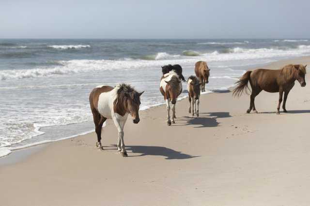 Wild Ponies of the Assateague Island National Seashore, Maryland