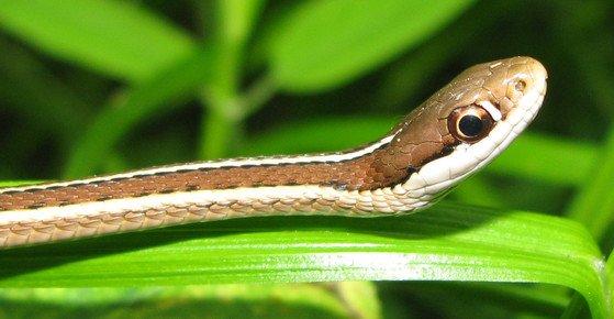 ribbon-snake-2_crop.jpg