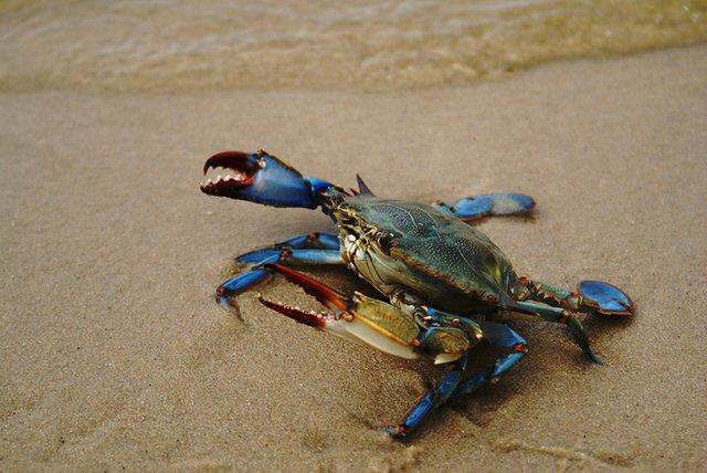 blue-crab.jpg
