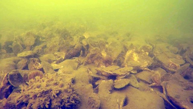 Tred-Avon-Oyster-Reef-1024x576.jpg