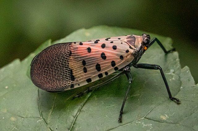 lanternfly2.jpg