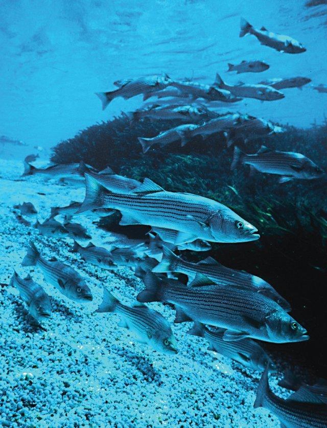 Rockfish1.jpg