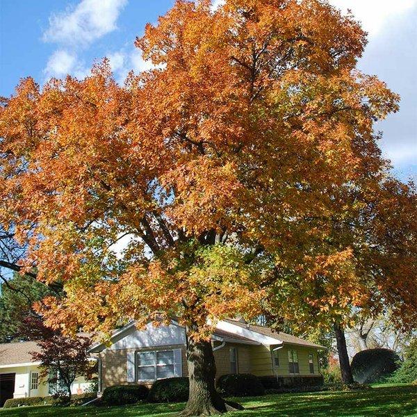 northern red oak.jpg